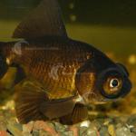 Goldfish_BlackMoor_F