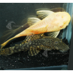 Catfish_Bristlenose_PC1