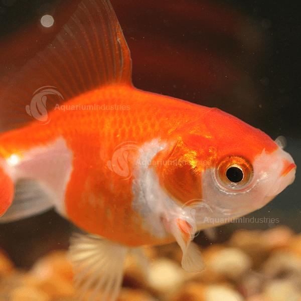 Aquarium Industries Wholesale Goldfish