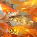 Goldfish_Nymph_Asst_F