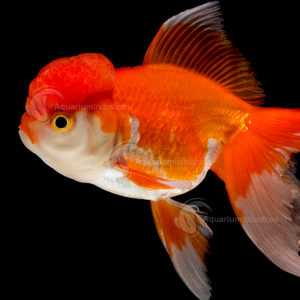 Oranda Goldfish Aquarium Industries