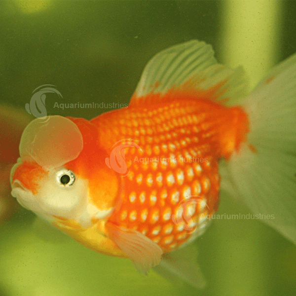 Pearlscale goldfish - photo#18