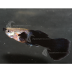 Guppy_Male_BlackTail