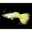 Guppy_Male_MetallicYellow