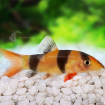 Loach_Clown_F-PC