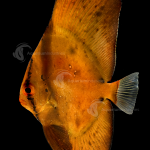Marine_Batfish_Orbiculate_F