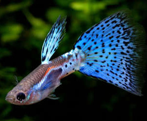 Tropical Fish Species : Aquarium Industries - Care Sheets for Tropical Fish Species
