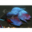 Betta_Male_Blue_PC