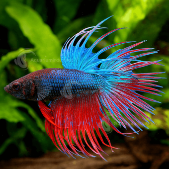 Betta_Male_Crown_F