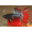 Betta_Male_Crown_PC1