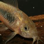 Catfish & Corydoras