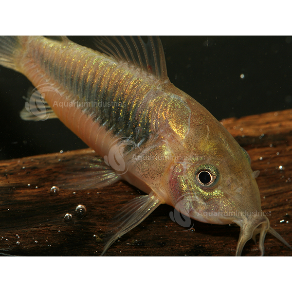 Bronze Corydora Corydoras & Catfish Aquarium Industries