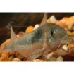 Catfish_Bronze_PC1
