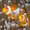 Marine_Clownfish_O&W_F