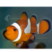 Marine_Clownfish_O&W_PC
