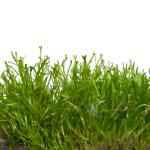 Plant_TC_Riccia_F