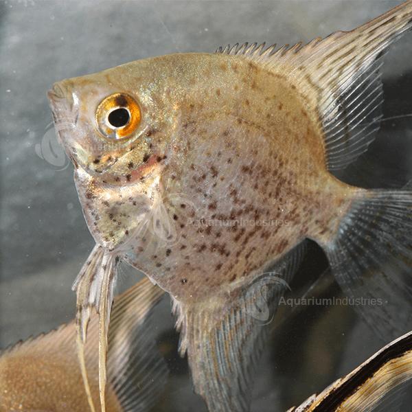 angel fish cichlids aquarium industries