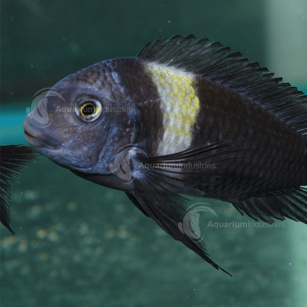 Tropheus Duboisi Tropheus Aquarium Industries