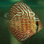 Discus_Turquoise_Red_F