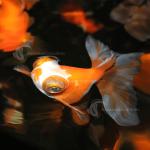 Goldfish_ButterflyTail_Asst_F