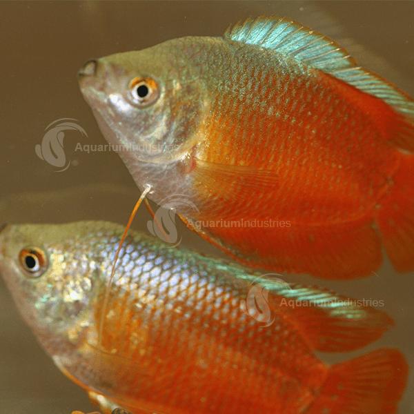 Dwarf Gourami Gouramis Aquarium Industries