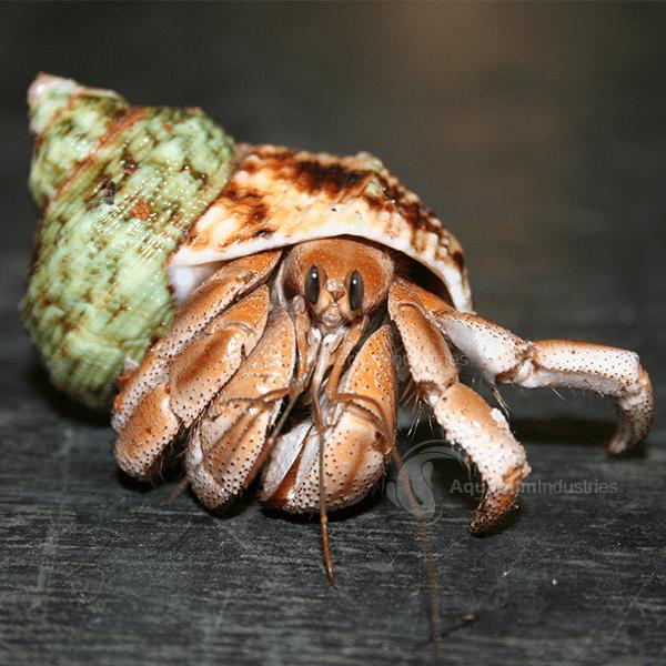 Freshwater Inverts & Hermit Crabs