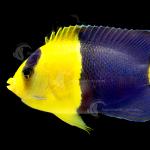 Marine_Angelfish_BiColour_F