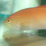 Anthias and Basslet