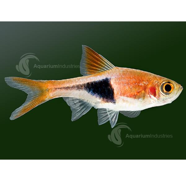 Harlequin Rasbora Rasboras Aquarium Industries