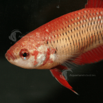 Betta_Female_Red_F