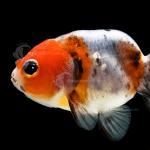 Goldfish_Ranchu_Calico_F