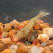 Invert_Shrimp_FreshwaterGlass1