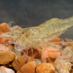 Invert_Shrimp_FreshwaterGlass_F