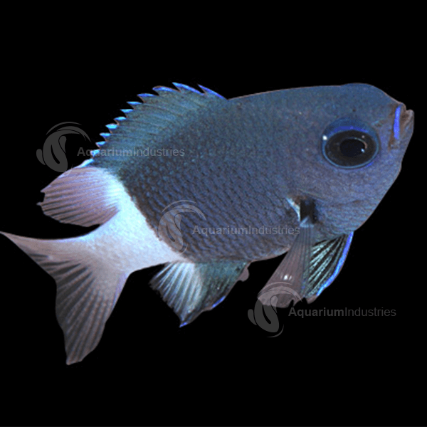 Damselfish & Chromis