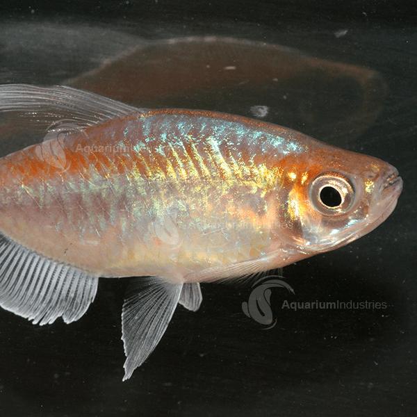 Congo Tetra Tetras Aquarium Industries