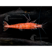 Invert_Shrimp_Cherry1