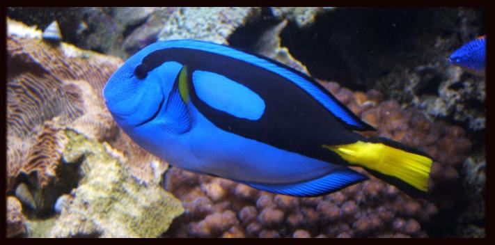 Marine Fish - Blue Tang