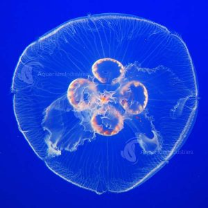 Jellyfish Moon