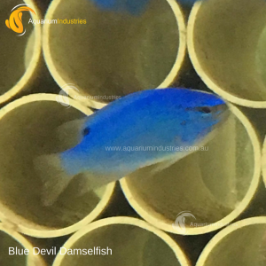Blue Devil Damselfish
