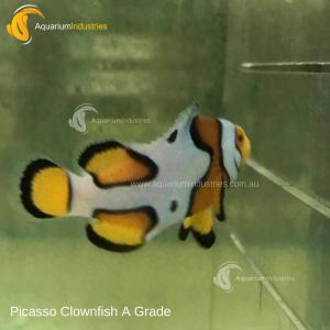 Clownfish Picasso A Grade