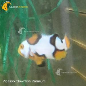 Picasso Clownfish Premium