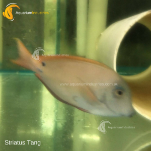 Striatus Tang