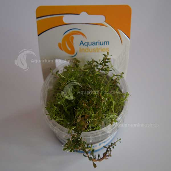 TC Plant Rotala Colourata